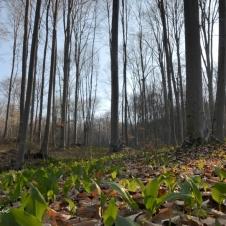 Pădure și leurdă