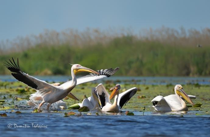 Grup de pelicani 2
